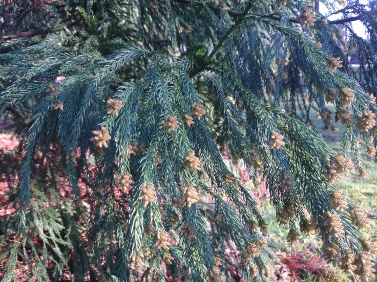 Beautiful Conifers